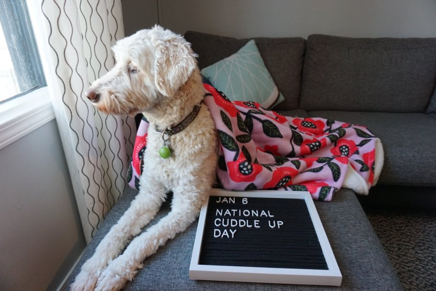 A goldendoodle is shown with a letterboard sign, a bright pink and red throw blanket, on an IKEA Kalrstad chaise with gray slipcover.