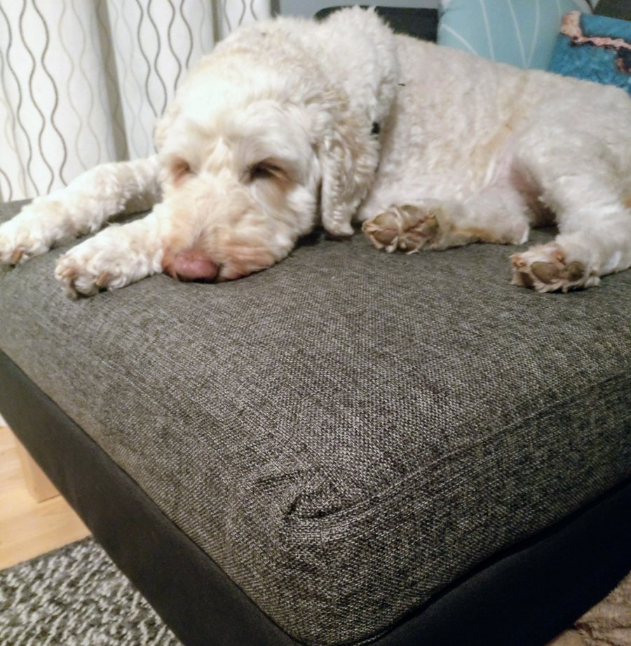 A goldendoodle rests on an IKEA Karlstad chaise with a slipcover purchased from eBay.